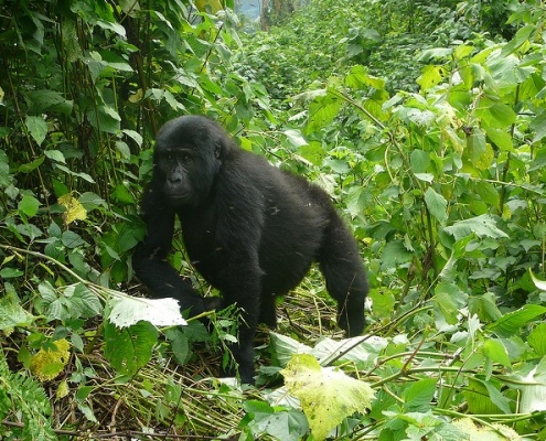 5 days Bwindi and Queen Elizabeth safari