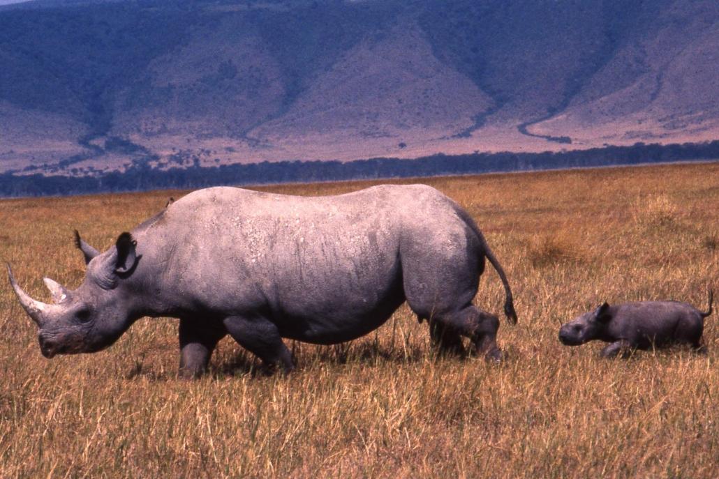 Rhinos Ngorongoro Crater