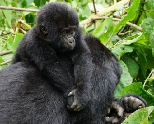 3 days Uganda gorilla tracking safari from Kigali